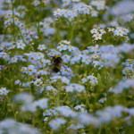 Bee on water forget me not