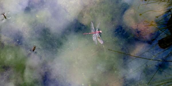 Tackling algal blooms on ponds