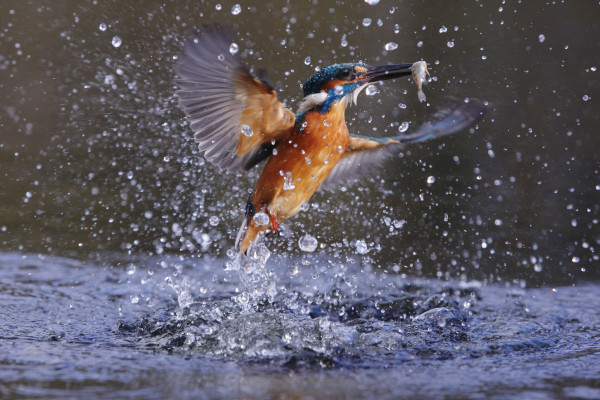 Kingfisher emerging from water with fish