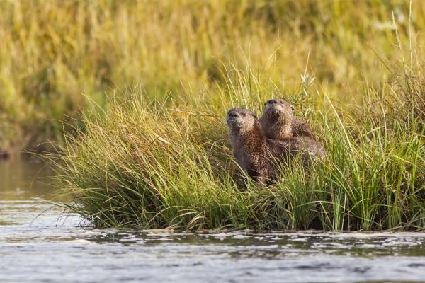Otters on island